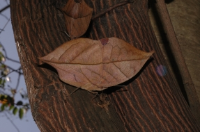 Ishan Agarwal. Oak Leaf. 2006. Chandrabani, Dehradun.