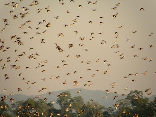 Karpagam Chelliah. Barheaded Geese. 2008. Kaziranga.