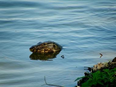 Karpagam Chelliah. Water Monitor lizard. 2008. Kaziranga.