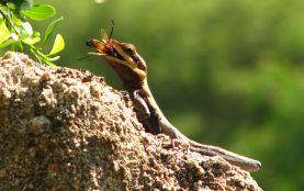 Shreekant Deodhar. Psammophilus dorsalis foraging male. 2011. Rishi Valley.