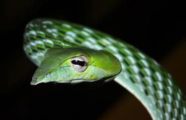 Ashok Kumar Mallik. Common vine snake. 2010. Matheran, Maharashtra.