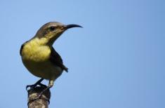 Ashok Kumar Mallik. Small Sunbird Female. 2011. Coorg.